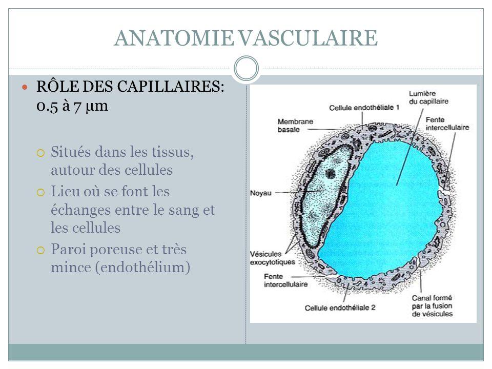 ANATOMIE VASCULAIRE RÔLE DES CAPILLAIRES: 0.5 à 7 µm