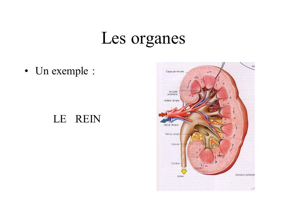 Les organes Un exemple : LE REIN