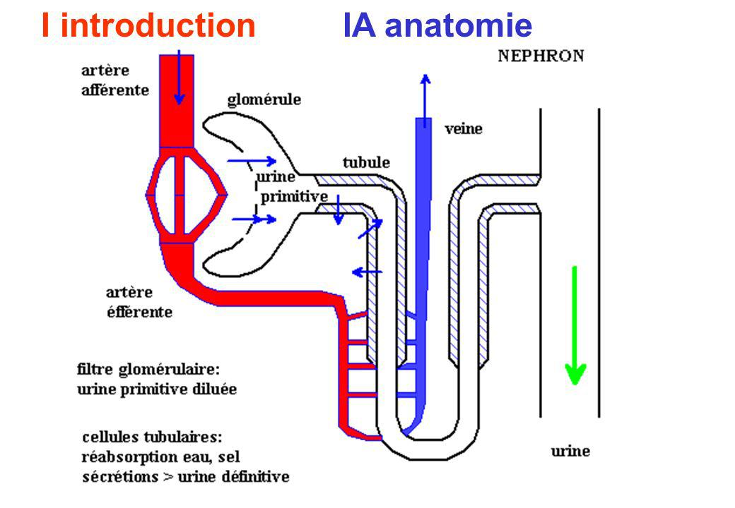 I introduction IA anatomie