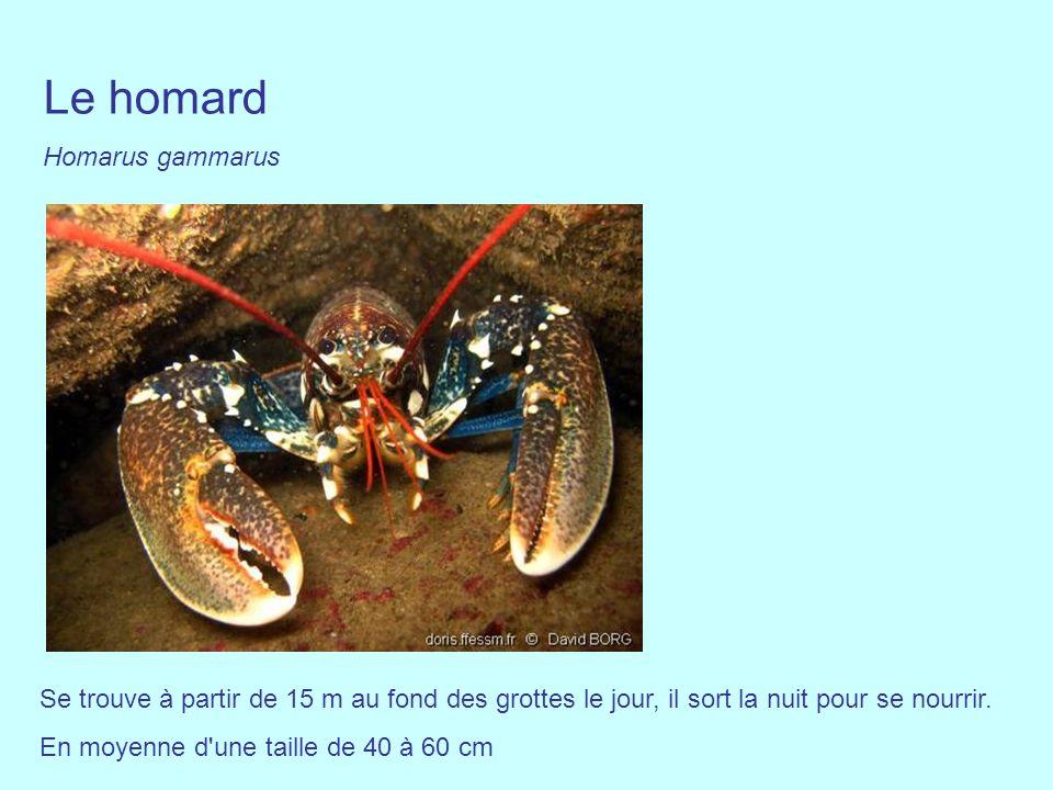 Le homard Homarus gammarus