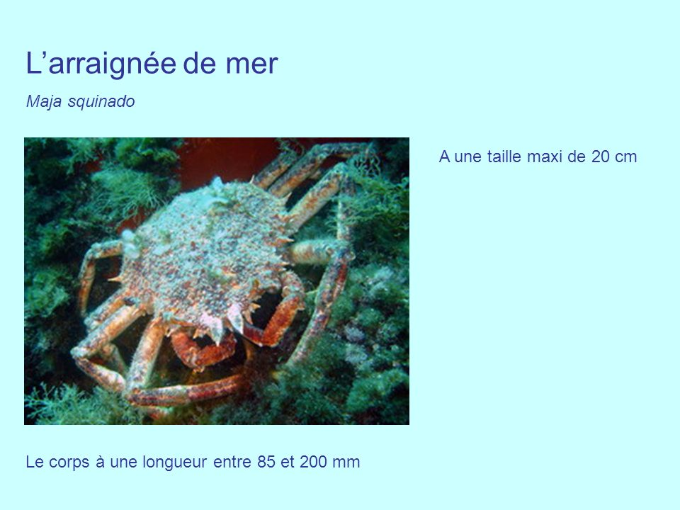 L'arraignée de mer Maja squinado A une taille maxi de 20 cm