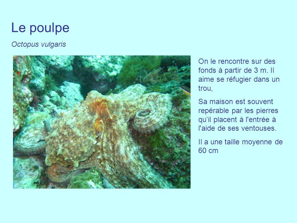 Le poulpe Octopus vulgaris