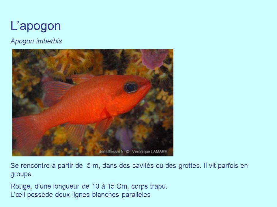 L'apogon Apogon imberbis