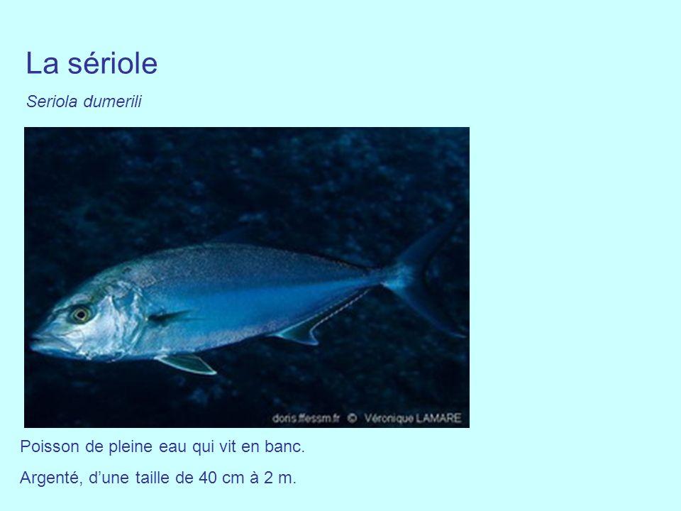 La sériole Seriola dumerili Poisson de pleine eau qui vit en banc.