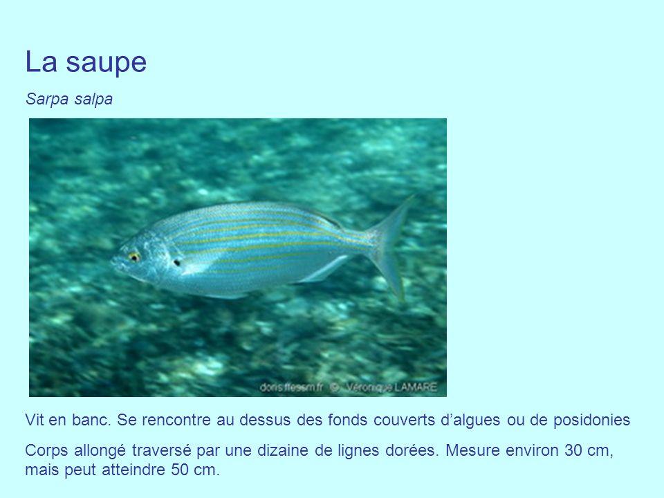 La saupe Sarpa salpa. Vit en banc. Se rencontre au dessus des fonds couverts d'algues ou de posidonies.