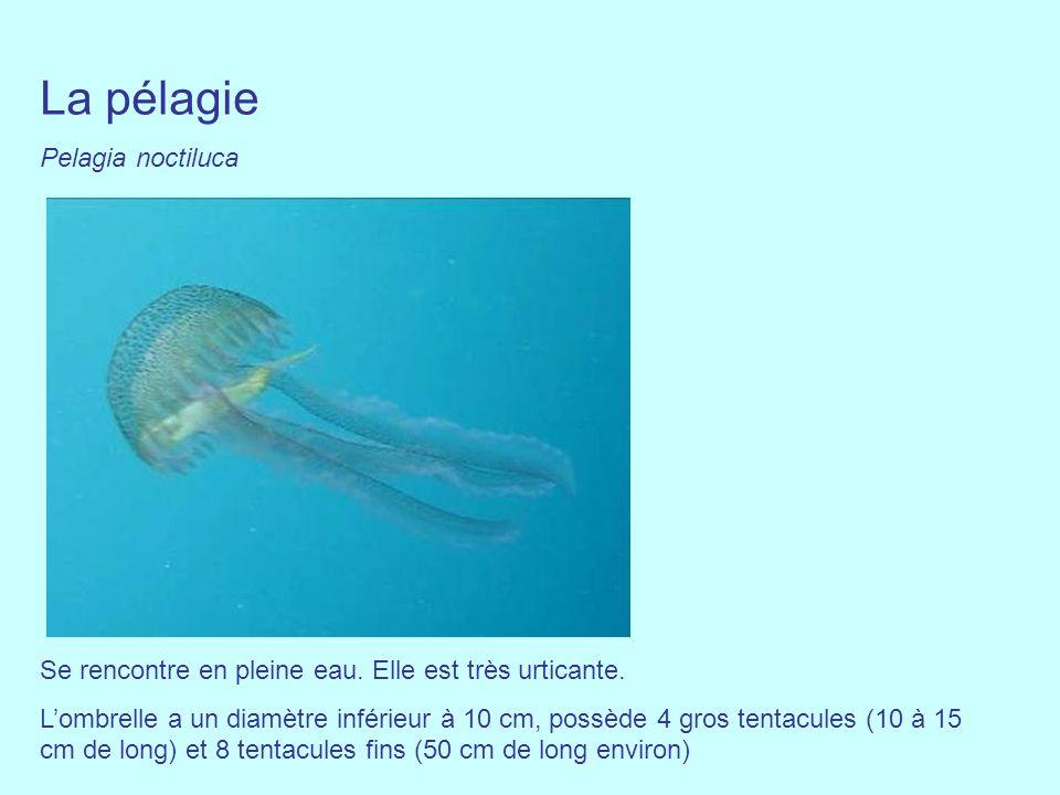 La pélagie Pelagia noctiluca