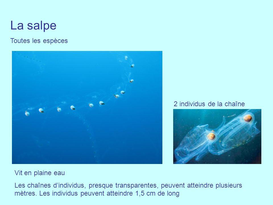 La salpe Toutes les espèces 2 individus de la chaîne Vit en plaine eau