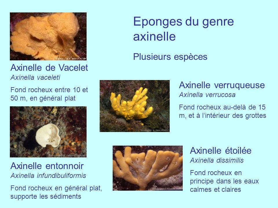 Eponges du genre axinelle