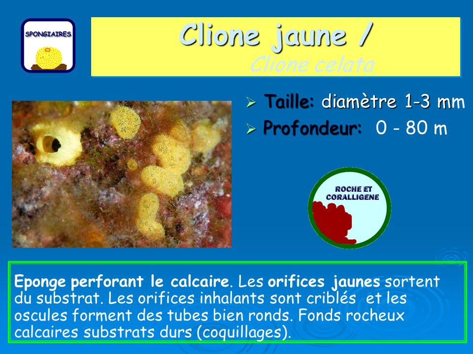 Clione jaune / Clione celata