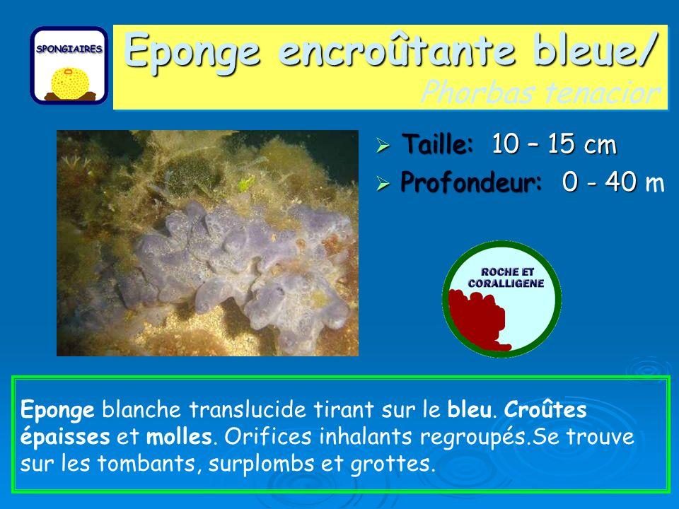 Eponge encroûtante bleue/ Phorbas tenacior