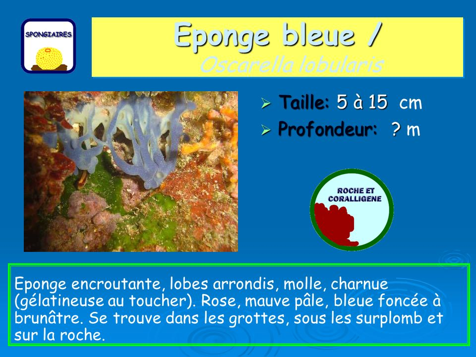 Eponge bleue / Oscarella lobularis
