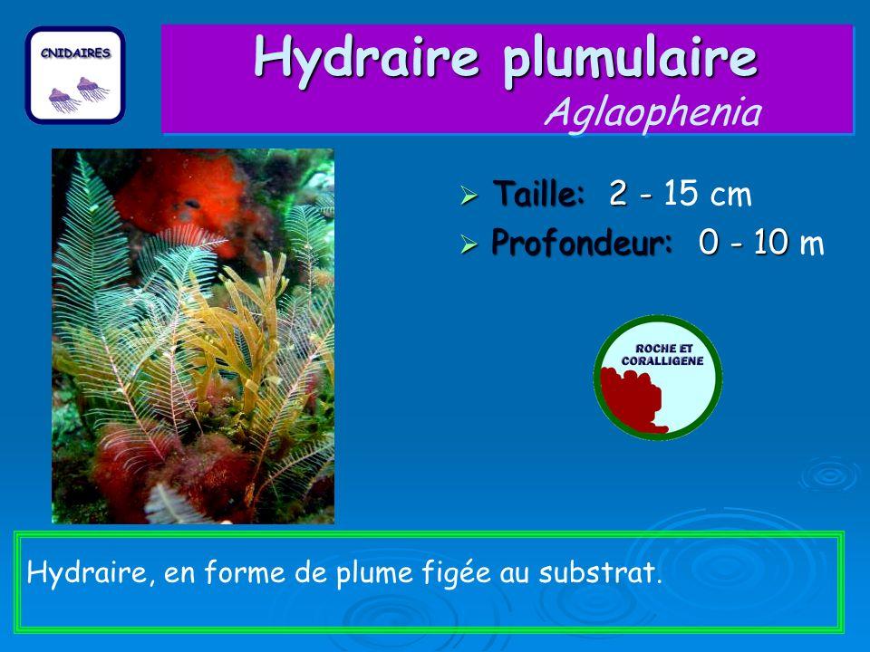 Hydraire plumulaire Aglaophenia