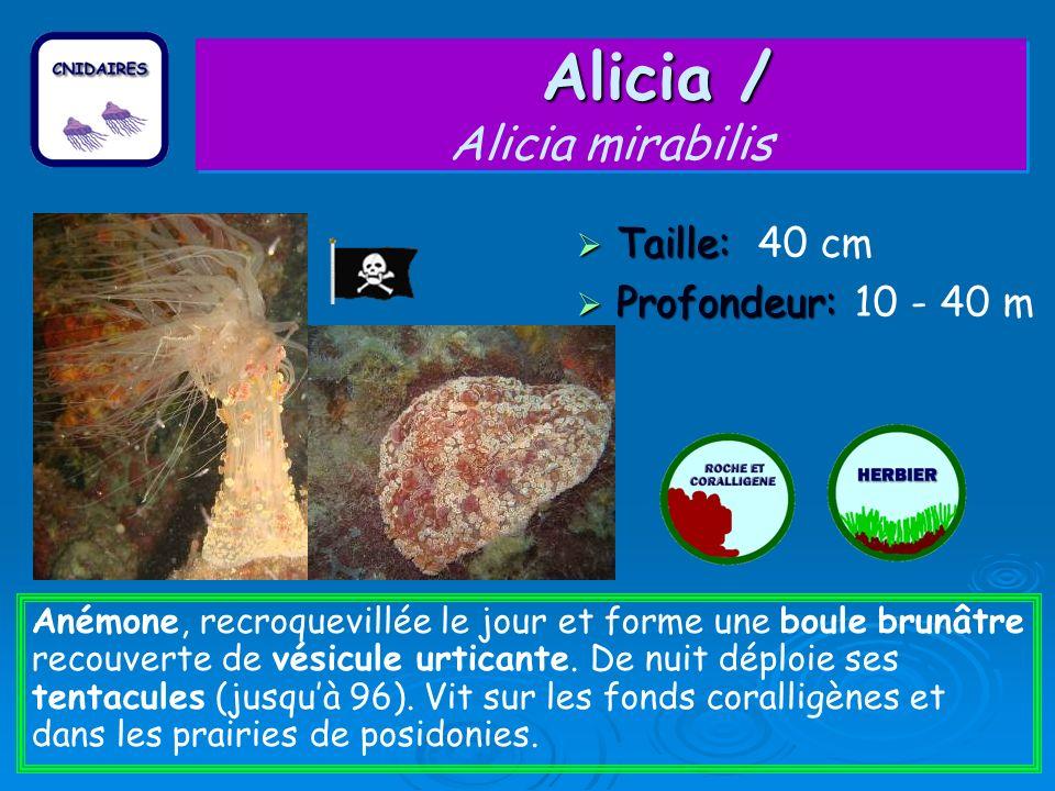Alicia / Alicia mirabilis