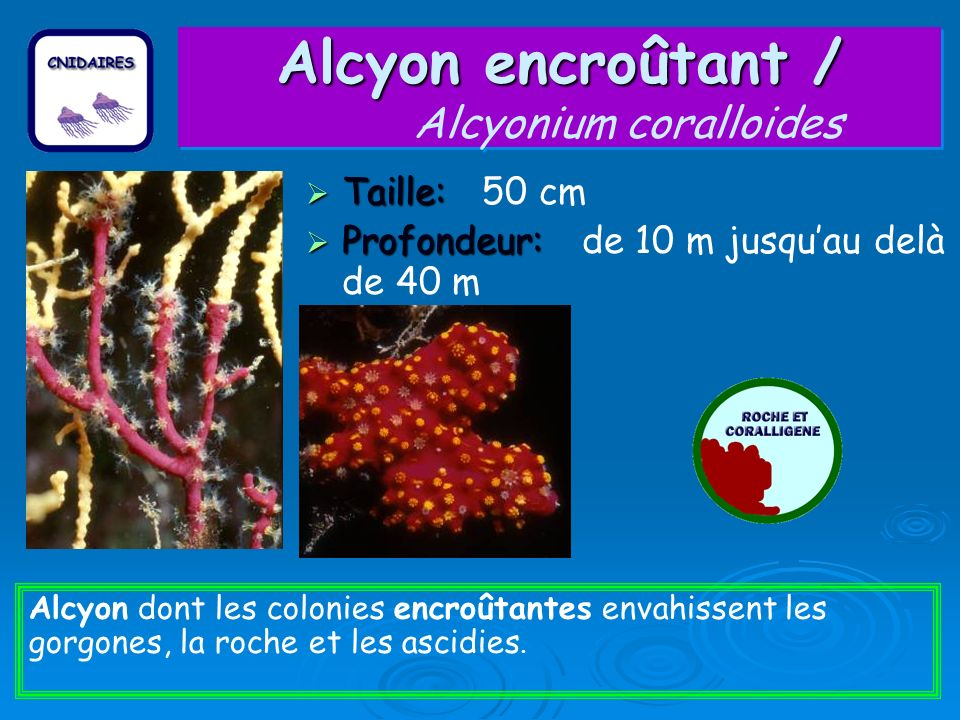Alcyon encroûtant / Alcyonium coralloides