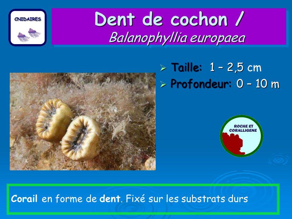 Dent de cochon / Balanophyllia europaea