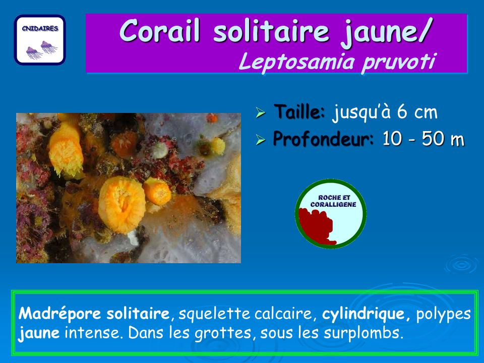 Corail solitaire jaune/ Leptosamia pruvoti