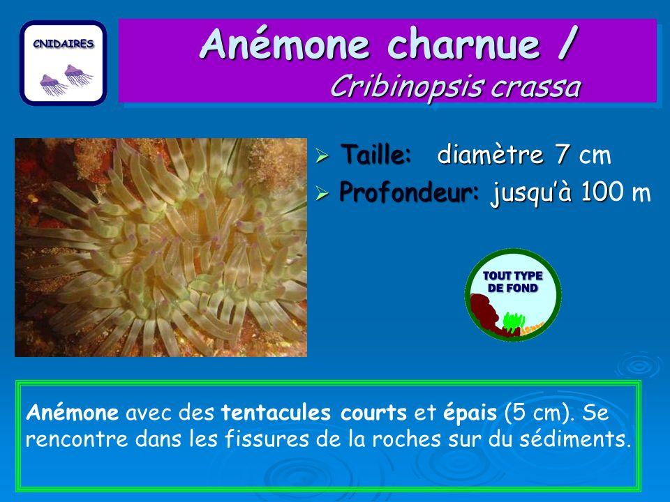 Anémone charnue / Cribinopsis crassa
