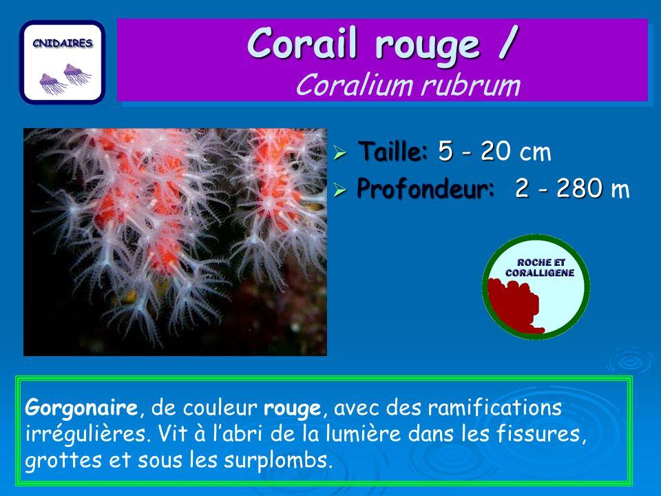 Corail rouge / Coralium rubrum