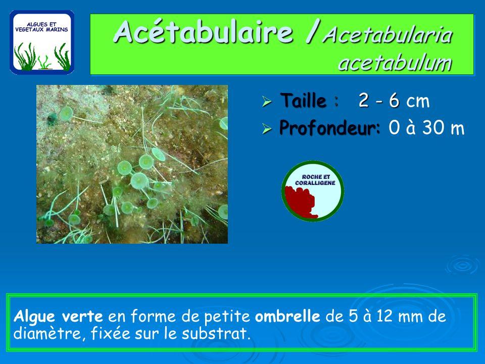 Acétabulaire /Acetabularia acetabulum
