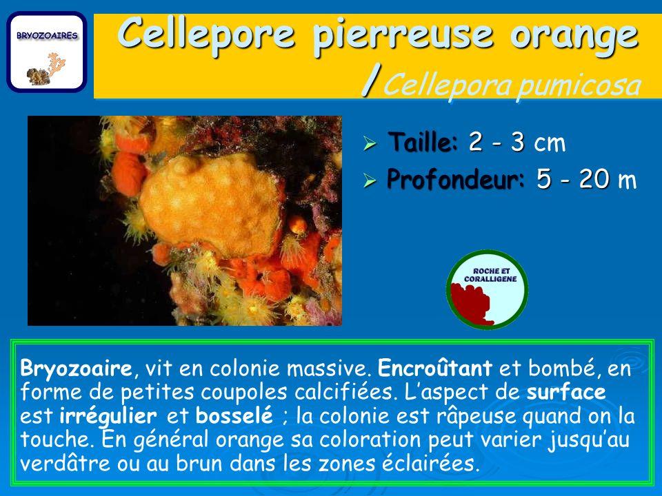 Cellepore pierreuse orange /Cellepora pumicosa