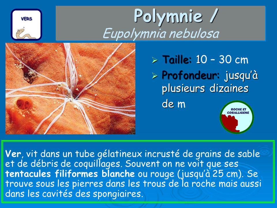 Polymnie / Eupolymnia nebulosa