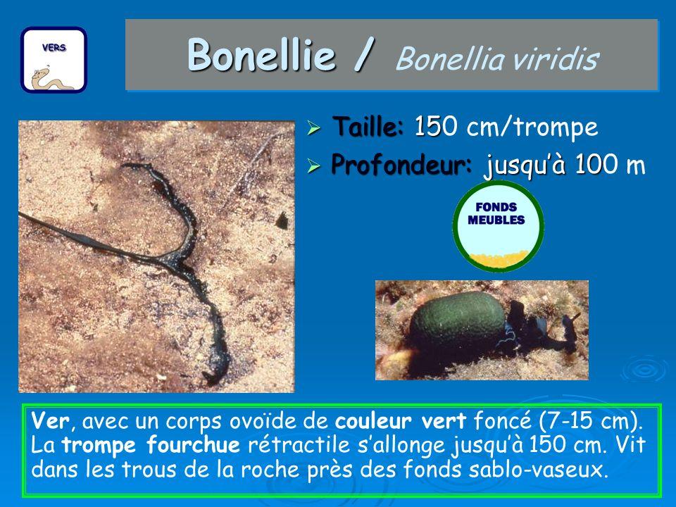 Bonellie / Bonellia viridis