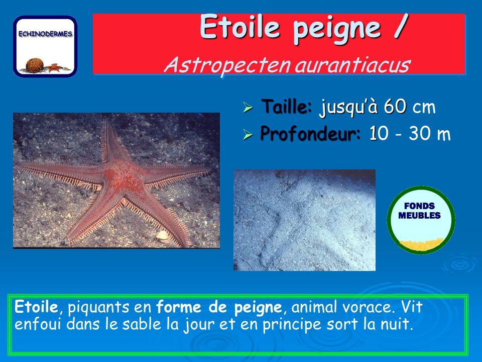 Etoile peigne / Astropecten aurantiacus