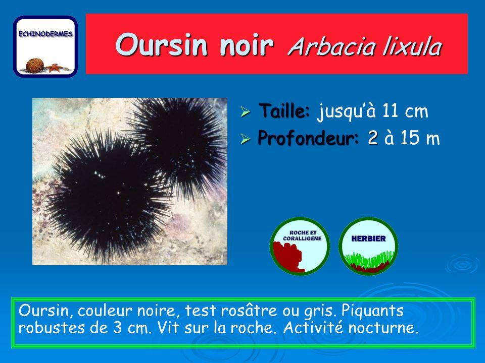 Oursin noir Arbacia lixula