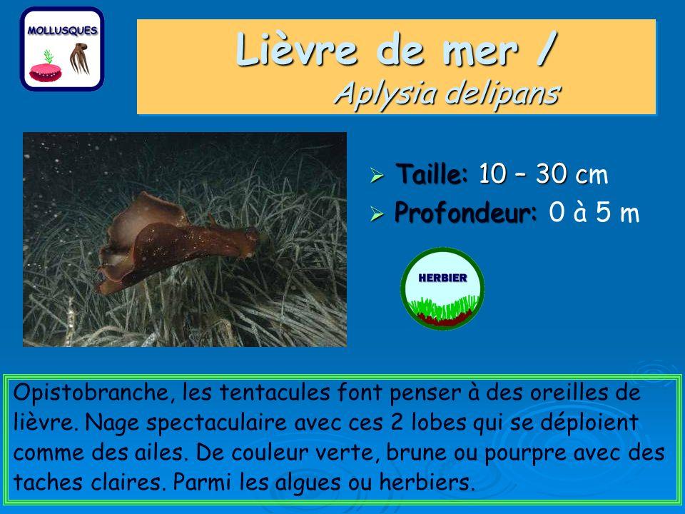 Lièvre de mer / Aplysia delipans