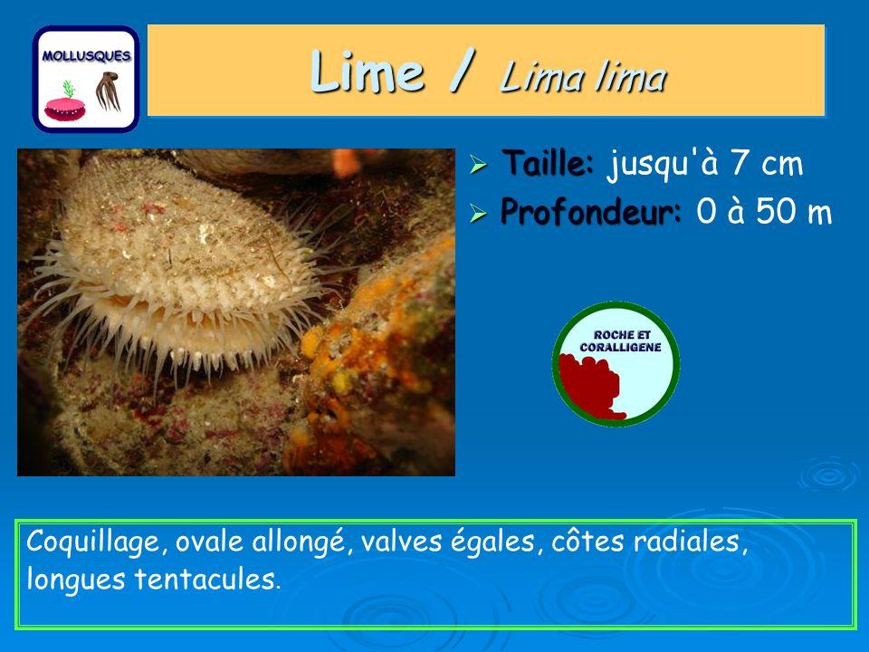 Lime / Lima lima Taille: jusqu à 7 cm Profondeur: 0 à 50 m