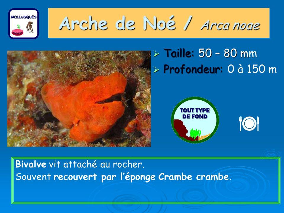  Arche de Noé / Arca noae Taille: 50 – 80 mm Profondeur: 0 à 150 m