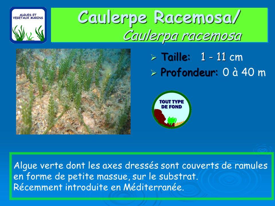 Caulerpe Racemosa/ Caulerpa racemosa
