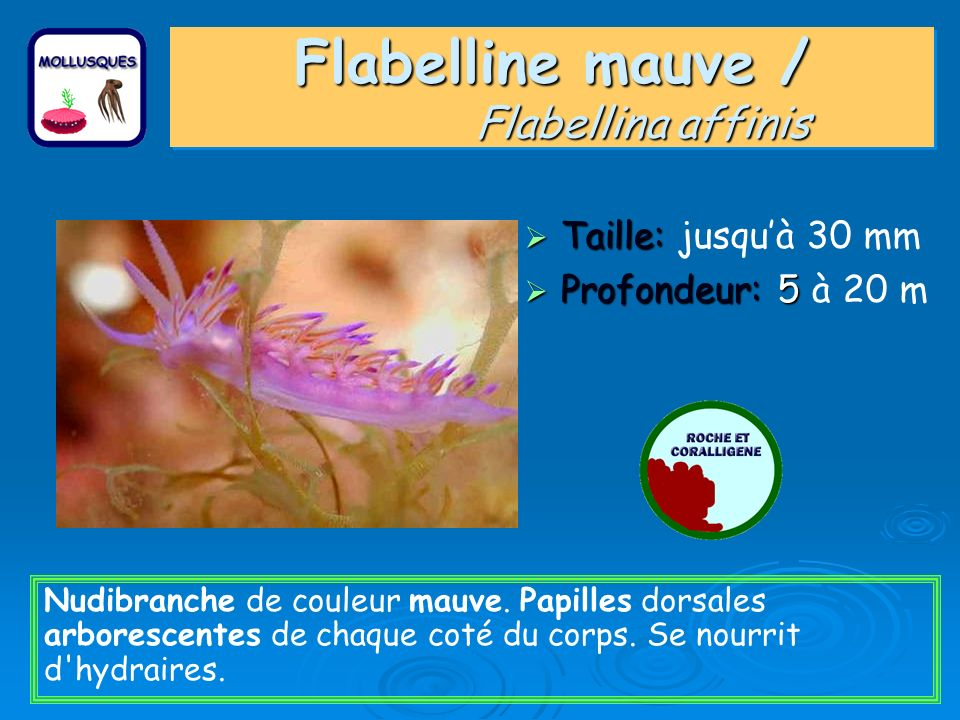 Flabelline mauve / Flabellina affinis