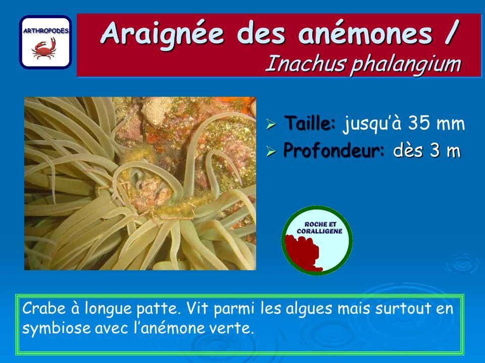 Araignée des anémones / Inachus phalangium