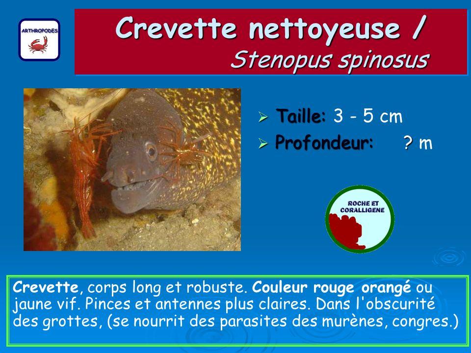 Crevette nettoyeuse / Stenopus spinosus