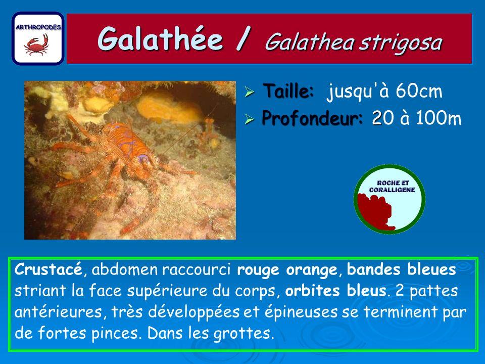 Galathée / Galathea strigosa