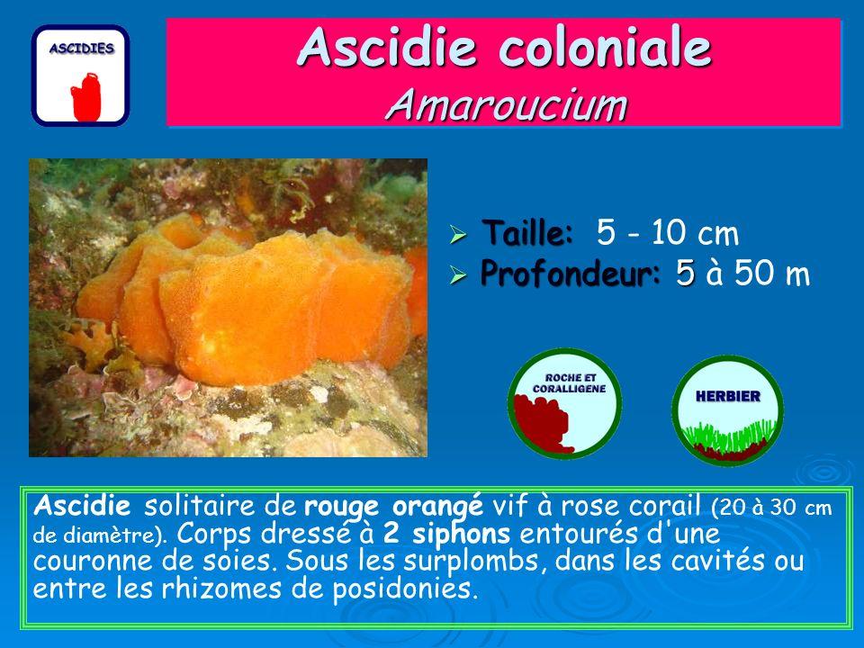 Ascidie coloniale Amaroucium