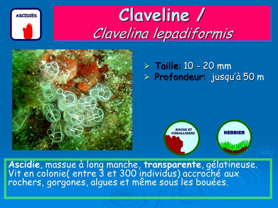 Claveline / Clavelina lepadiformis