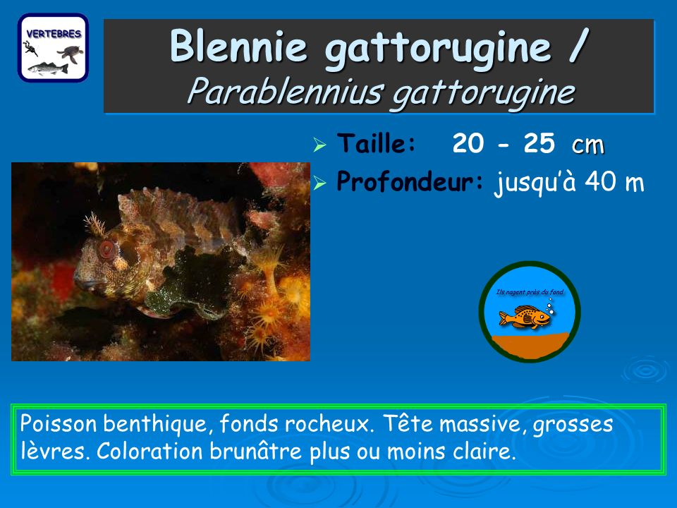 Blennie gattorugine / Parablennius gattorugine