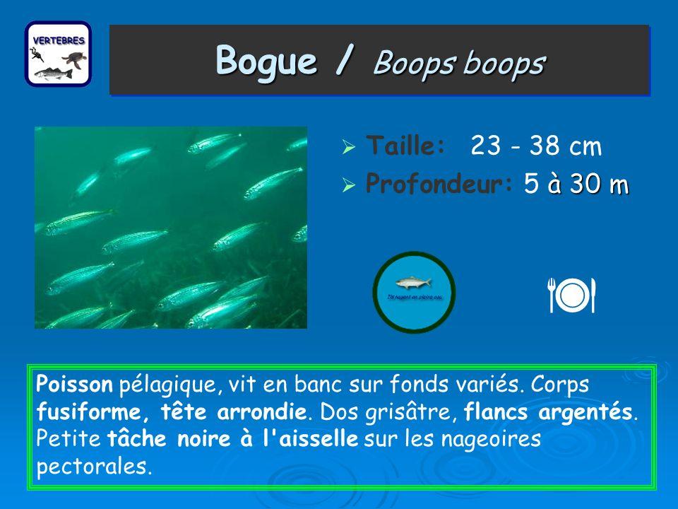  Bogue / Boops boops Taille: 23 - 38 cm Profondeur: 5 à 30 m