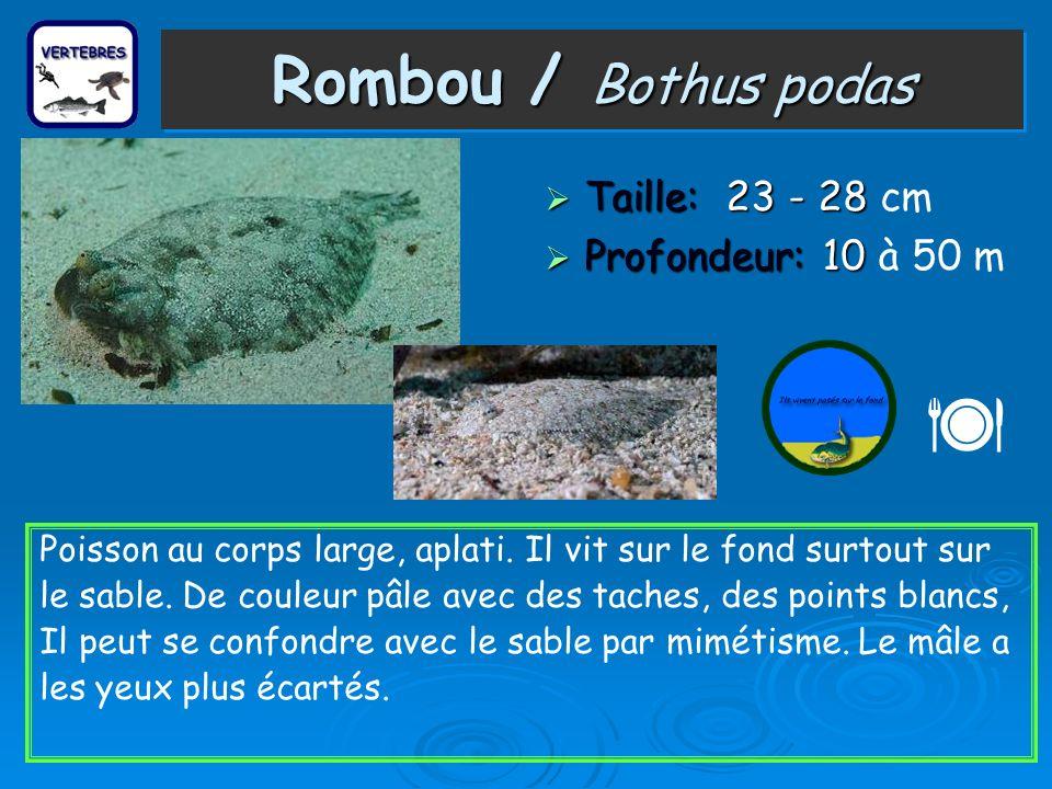  Rombou / Bothus podas Taille: 23 - 28 cm Profondeur: 10 à 50 m