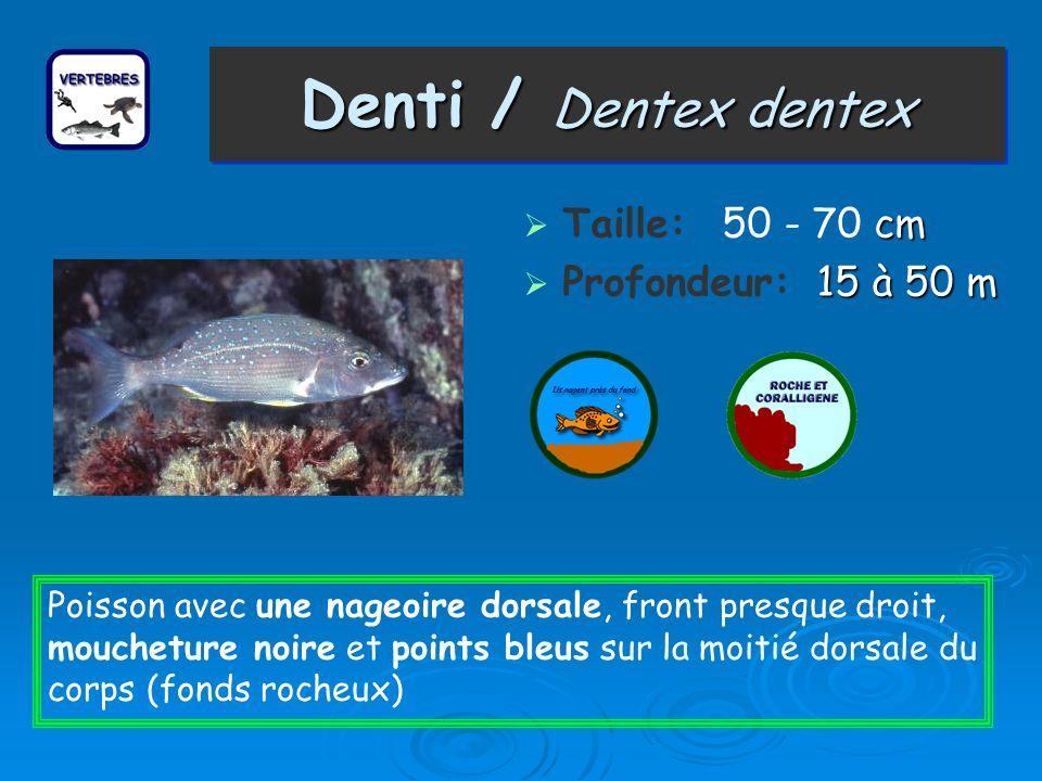 Denti / Dentex dentex Taille: 50 - 70 cm Profondeur: 15 à 50 m