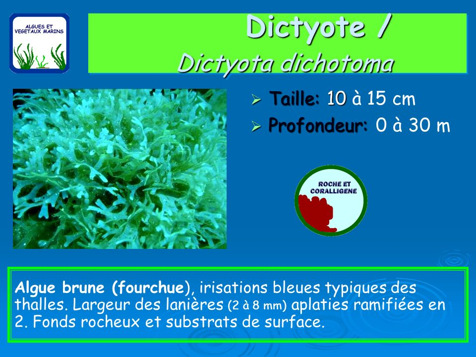 Dictyote / Dictyota dichotoma