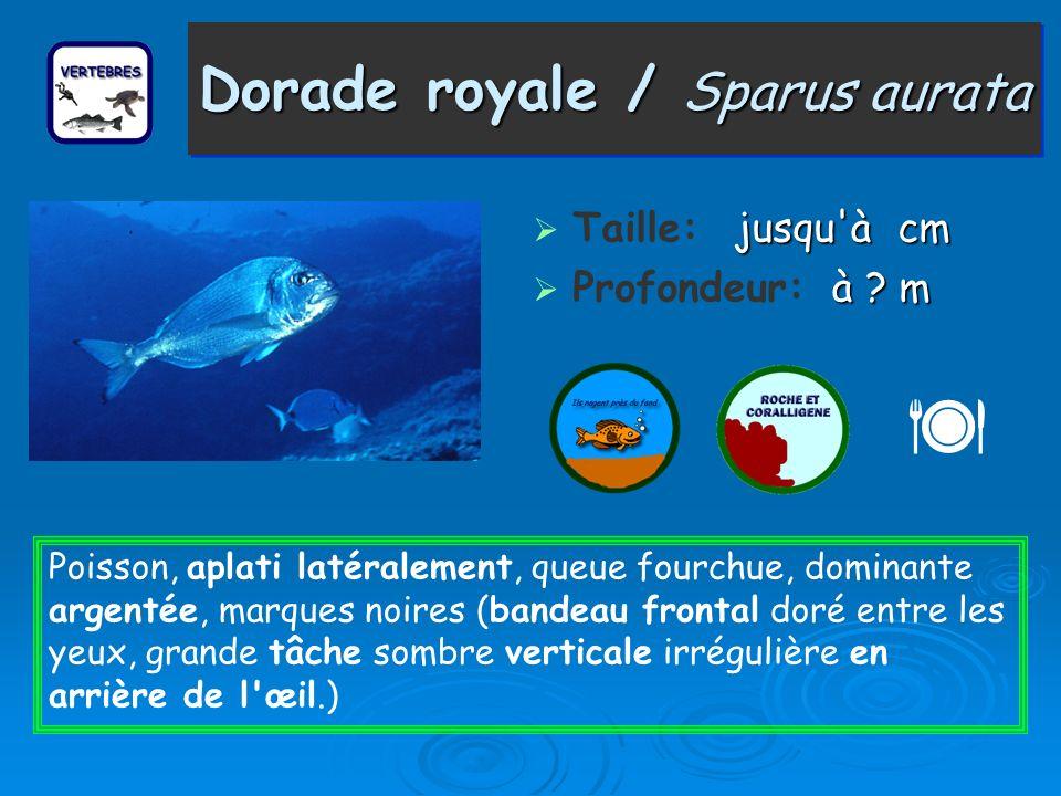 Dorade royale / Sparus aurata