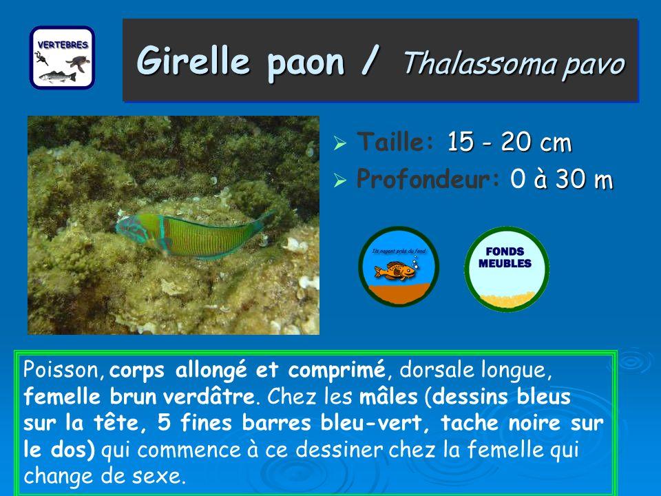 Girelle paon / Thalassoma pavo