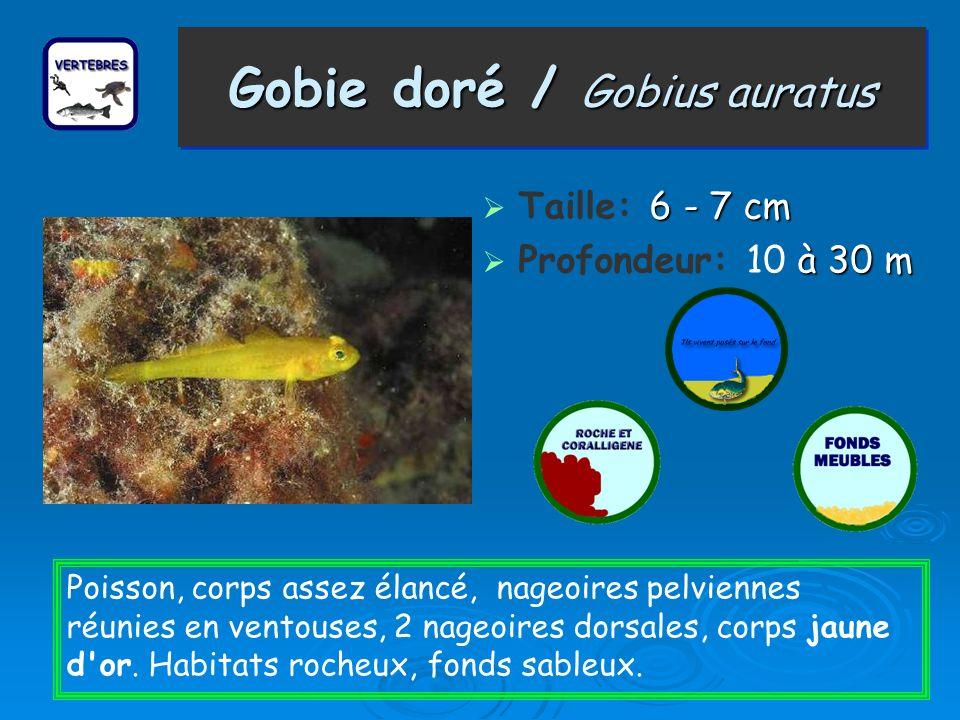 Gobie doré / Gobius auratus