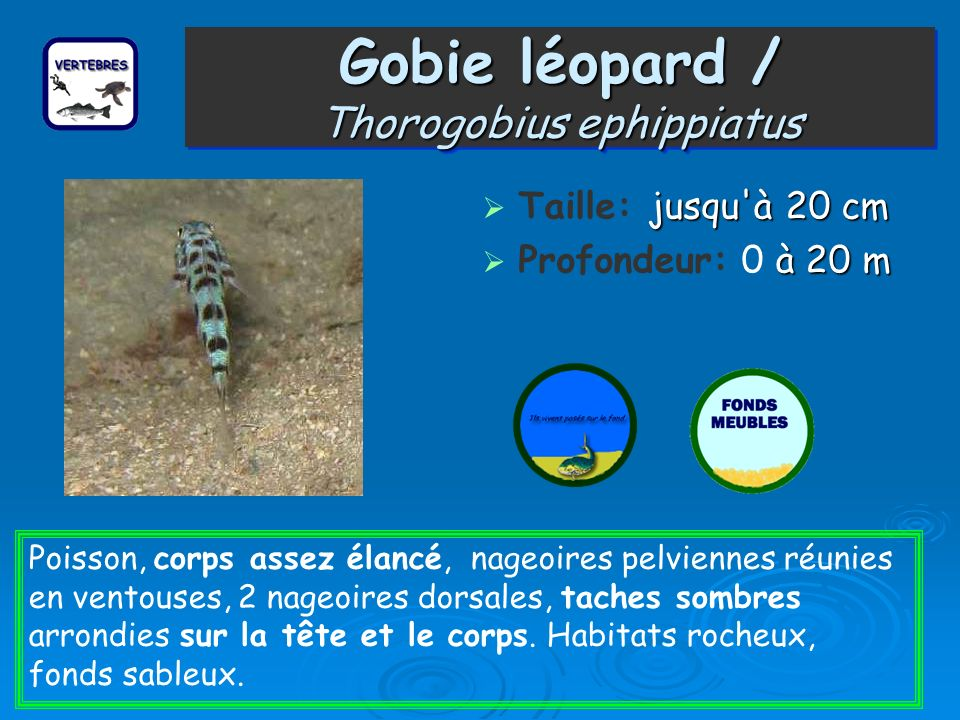 Gobie léopard / Thorogobius ephippiatus