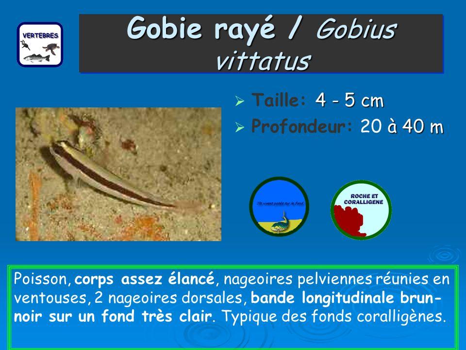 Gobie rayé / Gobius vittatus