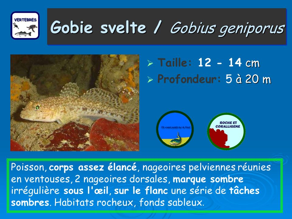Gobie svelte / Gobius geniporus