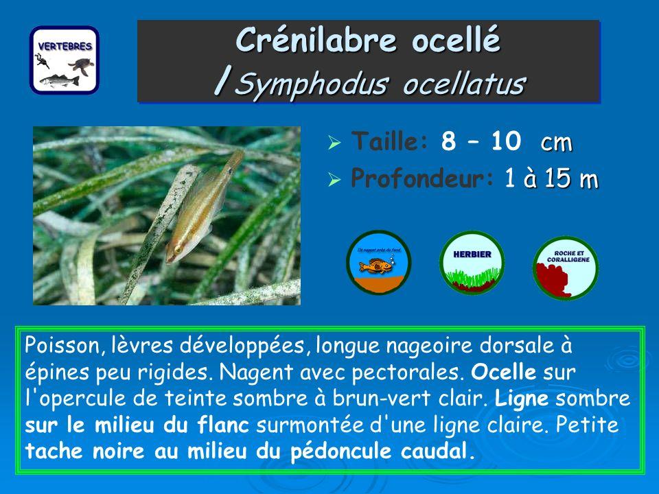 Crénilabre ocellé /Symphodus ocellatus